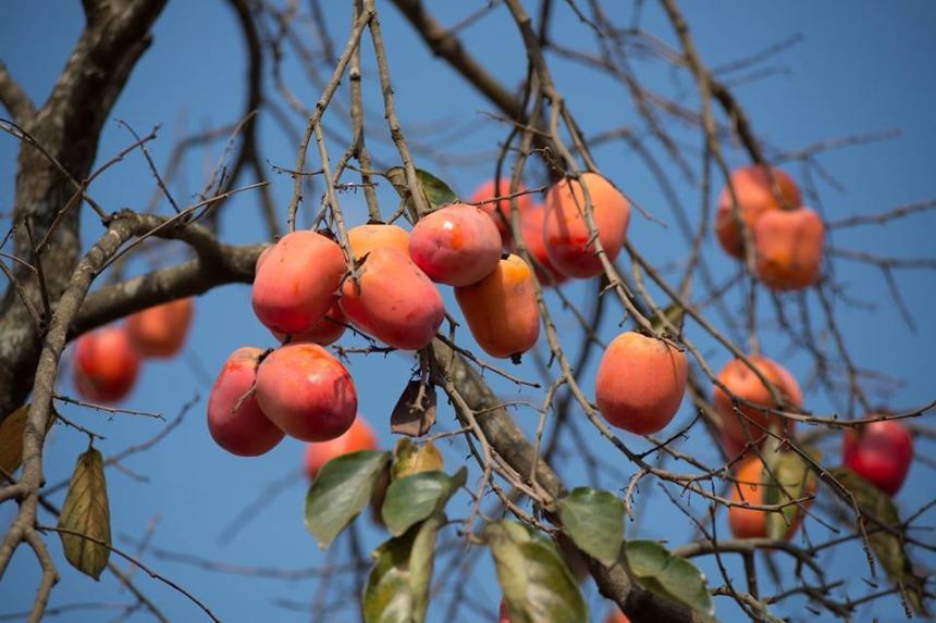 Nhớ một mùa hồng Trung Quốc ngày đông