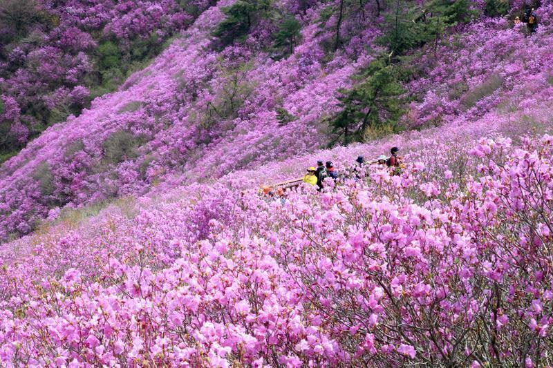 Hoa đỗ quyên làm nỗi nhớ thêm phần chơi vơi nên đi du lịch Hàn Quốc mùa nào