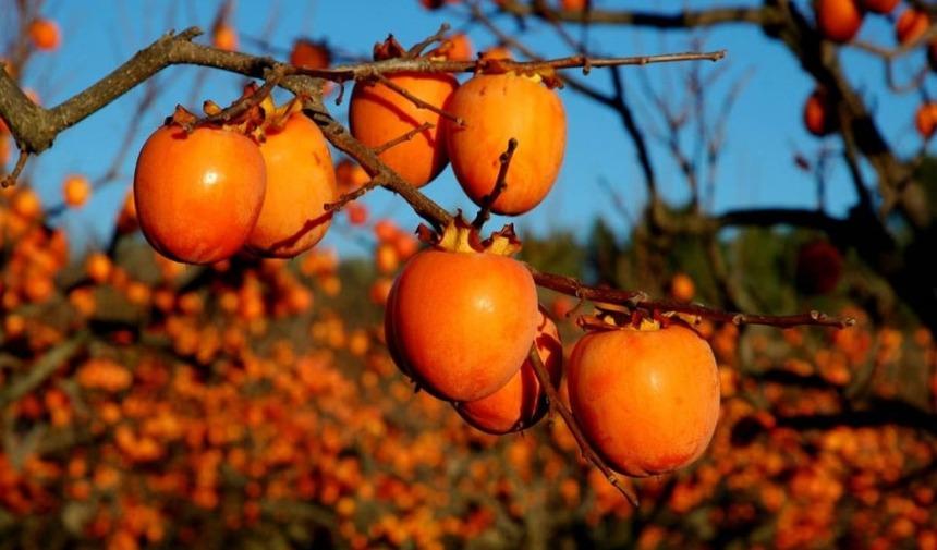 Những trái hồng mọng nước, căng tràn sức sống cuối thu, đầu đông