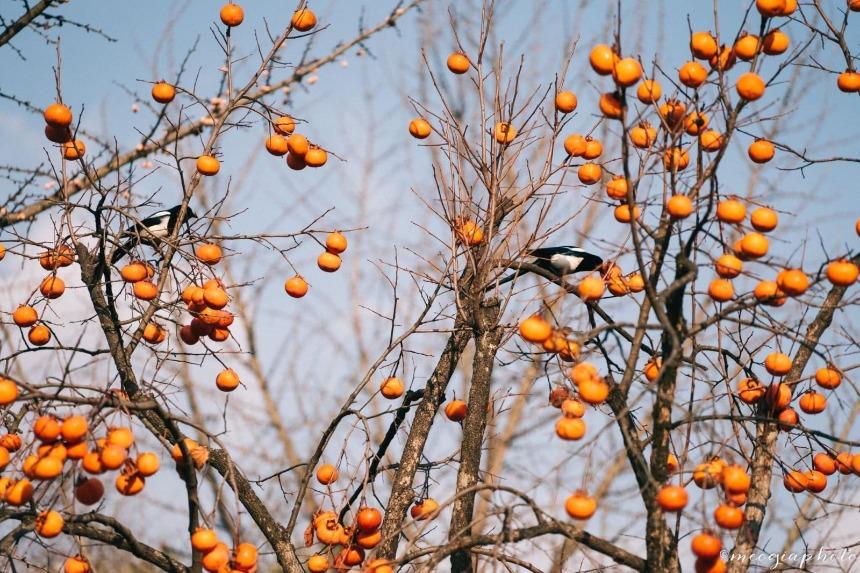 Những trái hồng căng bóng đánh đu trên cành - du lịch Trung Quốc mùa đông