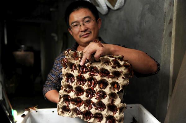 Một thanh niên đang nuôi gián trong nhà - Những điều kiêng kỵ khi đặt chân đến Trung Quốc