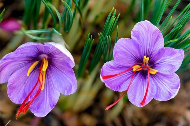 Công dụng của nhụy hoa nghệ tây được ví như thần dược