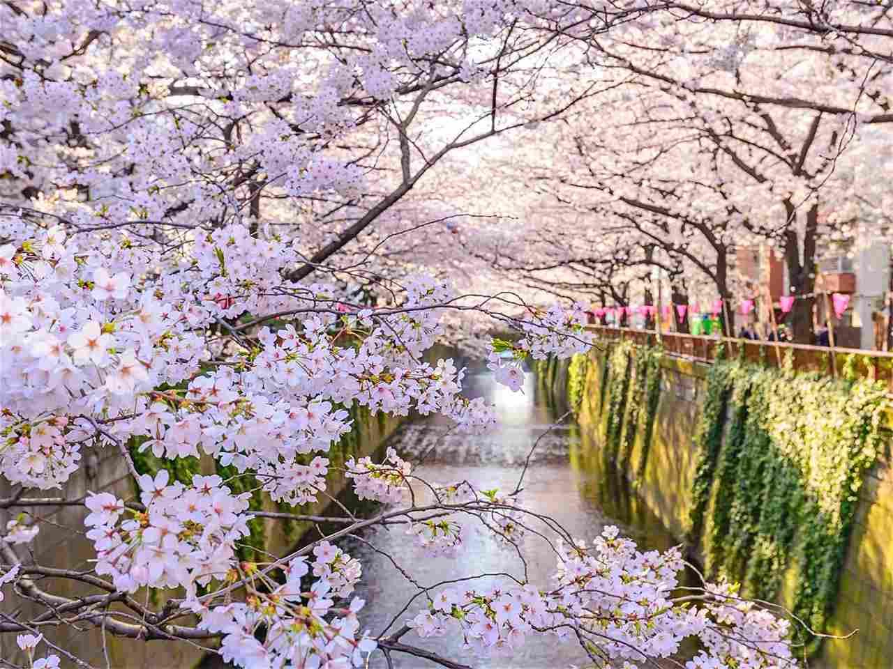 Hoa anh đào nở rộ mỗi dịp xuân chạm ngõ làm nước Nhật dịu dàng lại càng dịu dàng hơn khám phá lễ hội mùa xuân trên nước Nhật